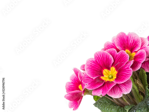 Photo Purple primrose flowers isolated on white background with copy space