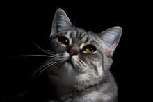 British Shorthair Cat On Black...