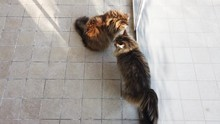 Two Brown Cats At The Window
