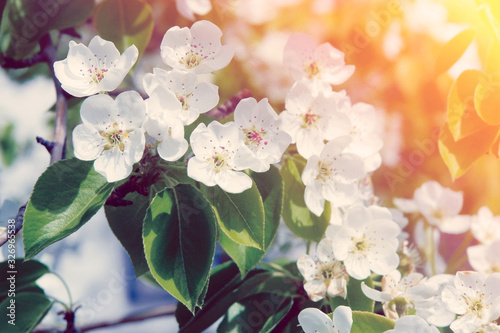Blooming apple tree branch with white flowers in bright sunlight Canvas Print