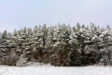 Snow-covered Beautiful Fir Tre...