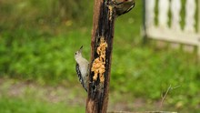 Baby Woodpecker  Eating From A...