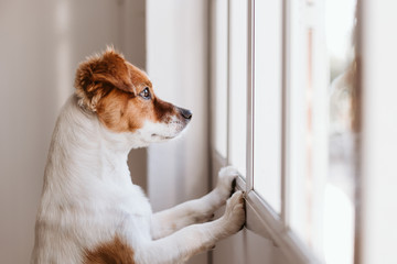 Fototapetacute small dog standing on two legs and looking away by the window searching or waiting for his owner. Pets indoors