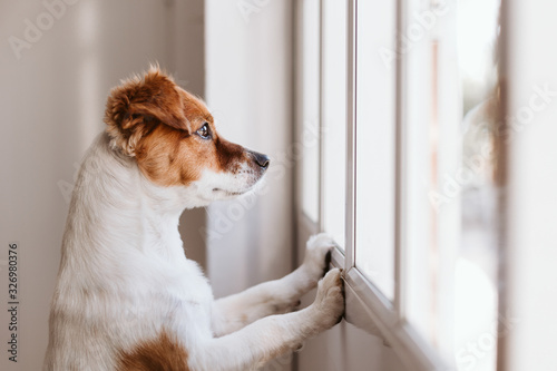 Photo cute small dog standing on two legs and looking away by the window searching or waiting for his owner