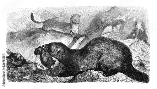 Polecat (Putorius Foetidus) Antique engraved illustration from Brockhaus Konvers Fototapeta