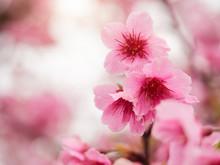 Close Up Beautiful Cherry Blos...