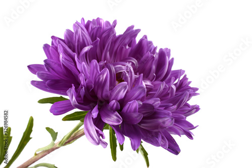 Violet aster isolated on white Canvas Print