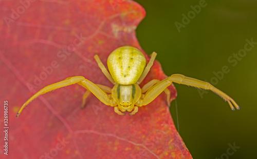 Misumena vatia is a species of crab spider with holarctic distribution Canvas Print