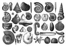 Shells Fosil Collection/ Antiq...