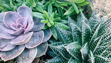 Various Type Of Succulent Eche...