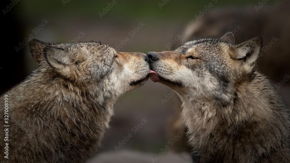 Fototapeta Les loup gris