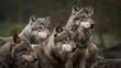 Les loup gris
