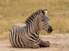 Young Zebra Lying Down In The ...