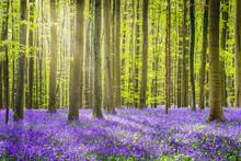 Halle Forest During Springtime...