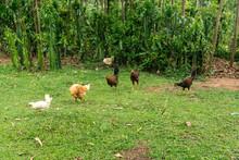 Grazing Chickens In Ethiopia