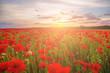 Poppies on green field on summer sunset