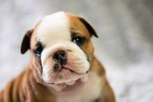 Small, Little English Bulldog ...