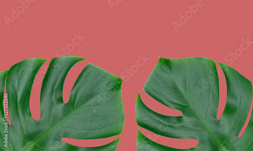 Photo Two sheets of monstera on an ashen pink background