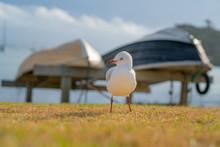Seagull On Beachside Grassy Ed...