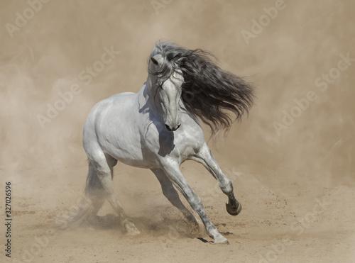 Fototapeta White Purebred Andalusian horse playing on sand. obraz