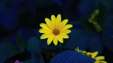 Yellow Flower Swaying In The W...
