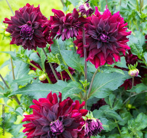 Canvas-taulu Flower dahlia semi - kaktus Rip City in the garden