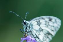 Marbled White Butterfly  (Mela...