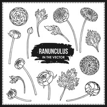 SET OF RANUNCULUS FLOWERS AND ...
