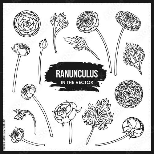 Fotografia, Obraz SET OF RANUNCULUS FLOWERS AND LEAVES