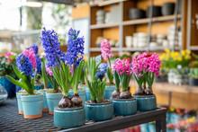 Flowering Hyacinthus Orientali...