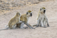 Group Of Vervet Monkeys (Chlorocebus Pygerythrus) In The Tarangire National Park