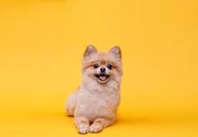 Portraite Of Cute Fluffy Puppy Of Pomeranian Spitz. Little Smiling Dog Lying On Bright Trendy Yellow Background. Free Space For Text.