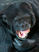 Male Chimpanzee With Open Mouth