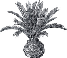 Cycad Plant Illustration, Drawing, Engraving, Ink, Line Art, Vector