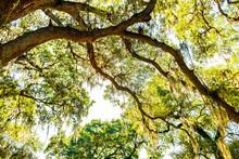 Oldest Southern Live Oak In Ne...
