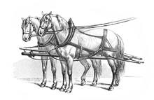 Harnessed Deuce, Two Horses En...