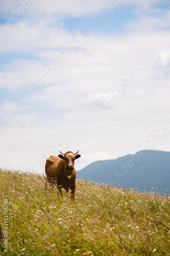 cows graze in a meadow in the Carpathians mountains. Summer landscape with cow grazing on fresh green mountain pastures. cattle grazing high up in mountains. healthy food and ecology concept Wall mural