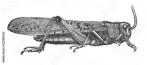 Illustration of insect locust Pachytylus migratorius in the old book The Encyclopaedia Britannica, vol. 14, by C. Blake, 1882, Edinburgh