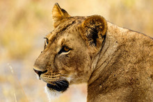 Head Of A Lioness (Panthera Leo) In The Tarangire National Park
