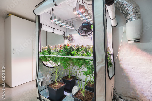 Fototapeta Shot of a cannabis plants growing in a grow tent during flowering stage obraz