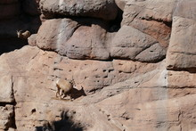 Big Horn Sheep Clambering Amon...