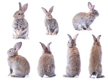 Many Variety Action Of Brown Cute Young Rabbits Isolated On White Background. Lovely Seven Action Of Young Rabbits.