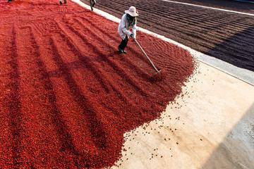 Fototapeta Do kawiarni Coffee beans drying in the sun. Coffee plantations at coffee farm