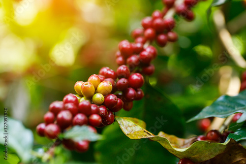 Coffee beans ripening on tree in North of thailand Fototapet