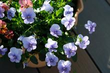 鉢植えの紫色の可愛いパンジーの花
