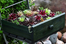 Beautiful Sempervivum And Succulent Plants Sitting An Old Green Drawer On A Metal Chair In The Garden As A Decoration.