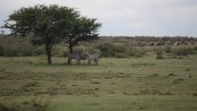 Zebras Hides In The Shade Unde...
