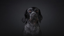 Hunting Dog Deutsch Dahthaar O...