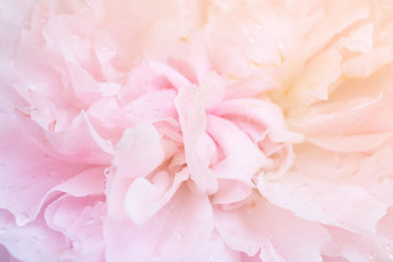 Beautiful pink roses flower close up abstract background