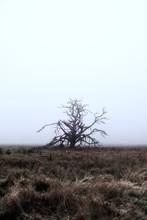 Dead Tree In Fog Meadow Grassy...